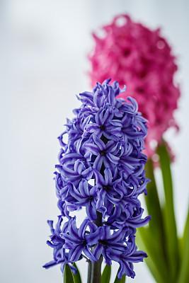 活力,粉色,紫色,复活节,华丽的,贺卡,清新,自然界的状态,花