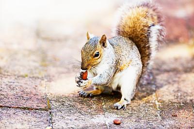 秋天,北美灰松鼠,坚果,开端,冬天,前面,砖,动物嘴,哺乳纲,手