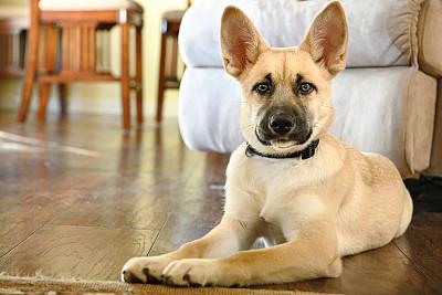小狗,硬木地板,茶色,可爱的,周末活动,安全,动物主题,纯种犬,舒服,动物家庭
