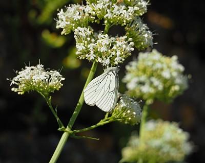 黑色,白色,黑脉纹白蝴蝶,清新,法国,野生动物,鳞翅类,翅膀,自然美,动物