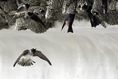 悬崖,燕子,在之间,动物的巢,泥,可爱的,动物主题,灰色,野生动物,肖像