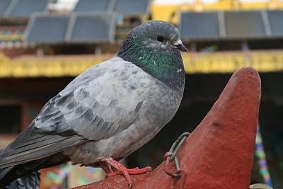 鸟类,鸽子,白色,寺庙,特写,家畜,灰色,野外动物,喙,屋顶