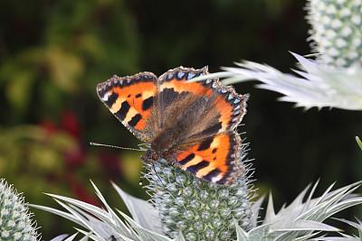 花斑家猫,小的,无人,昆虫,蝴蝶,图像,水平画幅,彩色图片,英国,海冬青树