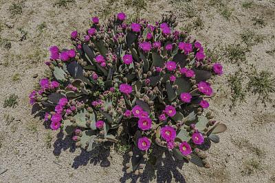獭尾掌,乔舒亚树国家公园,莫哈韦沙漠,仙人球,加利福尼亚,仙人掌,春天,沙漠,植物,户外