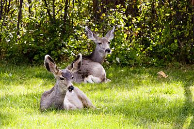 长耳鹿,动物主题,动物,有蹄哺乳动物,彩色图片,水平画幅,食草,休息,觅食,摄影