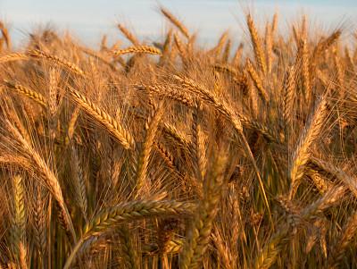 金色,大麦,背景,风景,纤维,户外,田地,日光,饮食,生长