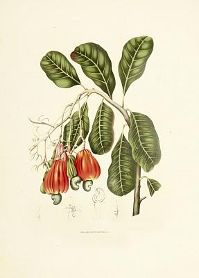 腰果,植物,绘画插图,古董,坚果,西,水果,热带气候,图像,树
