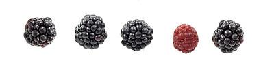 桑椹,黑刺莓,自然,饮食,水平画幅,素食,水果,无人,全景,膳食