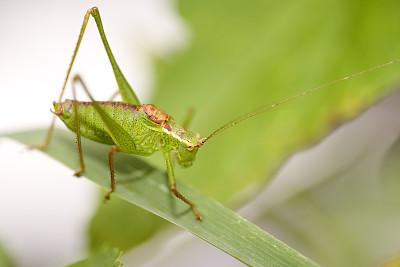 斑点灌木蟋蟀,蟋蟀,自然,水平画幅,绿色,彩色图片,无人,大特写,草,摄影
