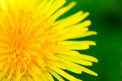 蒲公英,自然,水平画幅,无人,野生植物,特写,仅一朵花,野花,自然美,春天