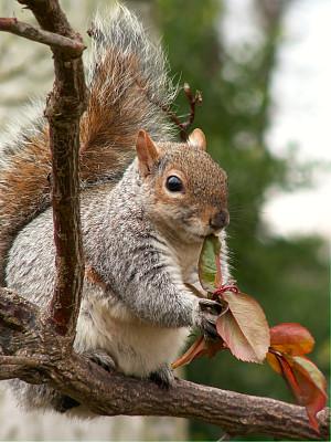 可爱的,松鼠,树松鼠,自然,垂直画幅,公园,小的,无人,户外,坚果