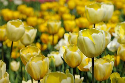 郁金香,黄色,星郁金香植物,伦勃朗郁金香,水平画幅,无人,户外,花蕾,春天,田地