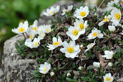 白山野花,水杨梅属植物,朱莉娅蝴蝶,水平画幅,岩石,无人,玫瑰,户外,白色,春天