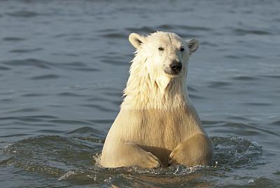 北极熊,水,水平画幅,秋天,爪子,动物身体部位,阿拉斯加,熊,北极,涉水