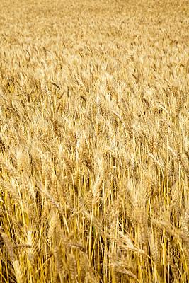 夏天,田地,小麦,自然,垂直画幅,地形,景观设计,无人,熟的,农作物