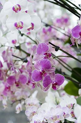 兰花,粉色,白色,垂直画幅,美,宁静,无人,散焦,特写,自然美