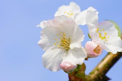 樱花,自然,天空,水平画幅,无人,蓝色,户外,特写,植物,花头