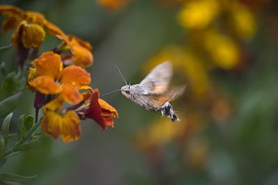 蜂鸟天蛾,天蛾,蜂鸟,自然,野生动物,水平画幅,绿色,蝴蝶,黄色,昆虫