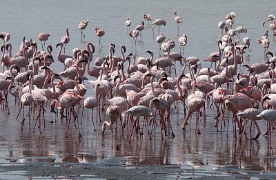 大火烈鸟,小火烈鸟,恩戈罗恩戈罗火山口,恩格罗恩格罗保护区,自然,水平画幅,无人,鸟类,非洲,坦桑尼亚