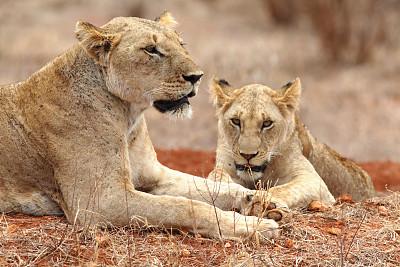肯尼亚,狮子,察沃国家公园,自然,野生猫科动物,野生动物,水平画幅,无人,动物学,野外动物