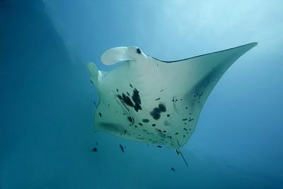 大鹞鱼,巴布亚新几内亚,indopacific ocean,魟鱼,深海潜水,水,纹理效果,水肺潜水,水下,野外动物