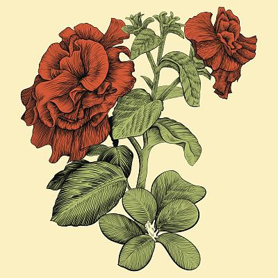 矮牵牛花,线条画,仅一朵花,矢量,现实主义,铅笔画,绘画插图,室内植物,方形画幅