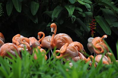 火烈鸟,水平画幅,无人,鸟类,背景聚焦,动物群,彩色图片,热带气候,粉色,多色的