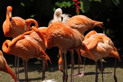 火烈鸟,自然,颈,水平画幅,鸟类,动物身体部位,翅膀,兽群,水禽,红色