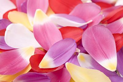 郁金香,花瓣,水平画幅,彩色图片,无人,背景,多色的,摄影