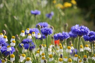 夏天,草地,矢车菊,水平画幅,无人,户外,特写,前景聚焦,田地,母亲节
