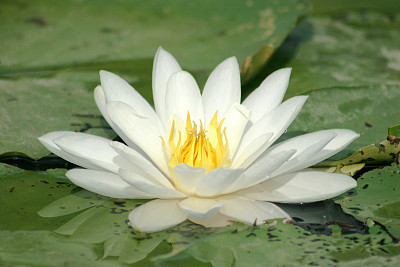 水,百合花,美,荷花,水平画幅,睡莲,湿,纯净,夏天,湖