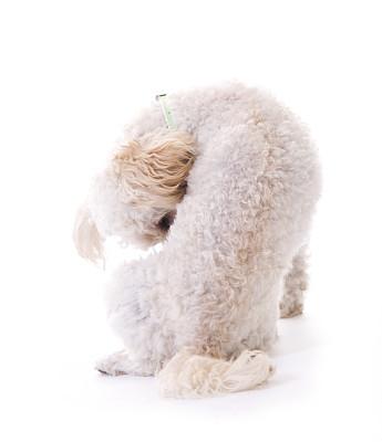 贵宾犬,垂直画幅,可爱的,背景分离,小狗,幽默,毛绒绒,宠物,动物,柔和