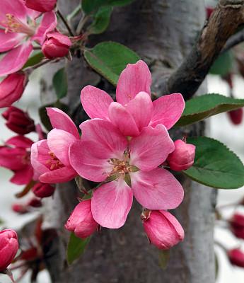 苹果,海棠,苹果花,自然,垂直画幅,无人,果树,户外,花蕾