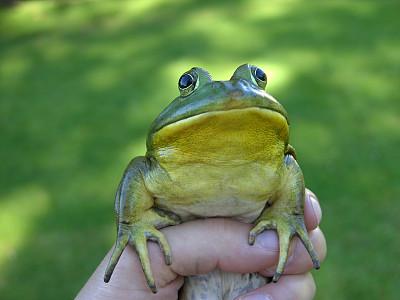 青蛙,手,牛蛙,正面视角,水平画幅,户外,特写,部分,彩色图片,自然