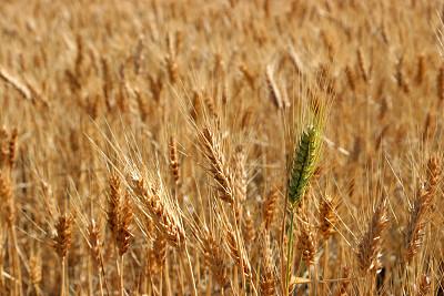 小麦,动物头,水平画幅,反差,草地围场,稻草,农作物,田地,植物,新生活