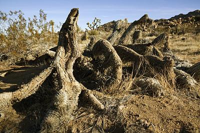 丝兰木,约书亚树,丝兰,莫哈韦沙漠,气候,地名,水平画幅,户外,美洲,自然公园