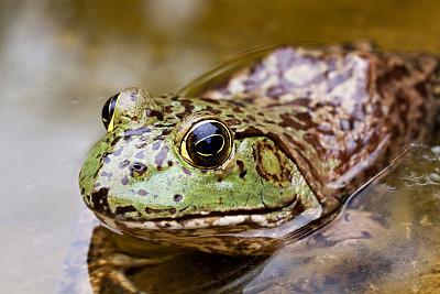 牛蛙,美国牛蛙,自然,水,野生动物,水平画幅,无人,青蛙,野外动物,户外