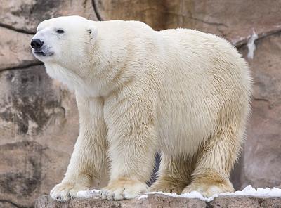 北极熊,哺乳纲,寒冷,水平画幅,雪,动物,北极,濒危物种,站,摄影