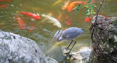 蓝色苍鹭,锦鲤,水平画幅,池塘,德瑞海滩,自然,岩石,鲤鱼,星和园,无人