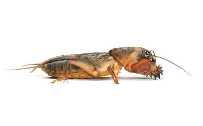 蝼蛄,鼹鼠,蟋蟀,褐色,水平画幅,无人,巨大的,白色背景,背景分离,地下的