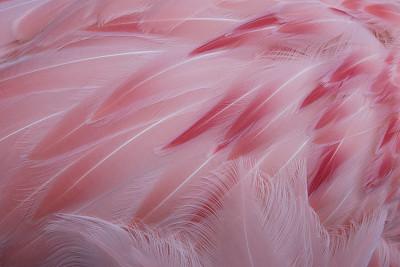 翎毛,粉色,火烈鸟,自然,青少年,女人,野生动物,水平画幅,色彩鲜艳,女性特质