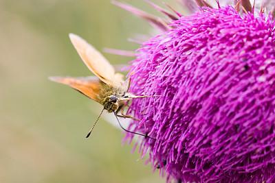 自然,水平画幅,蝴蝶,动物身体部位,夏天,特写,蓟,自然美,触角,动物
