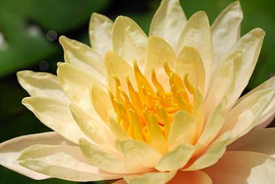 墨西哥黄睡莲,美,公园,荷花,水平画幅,睡莲,无人,仅一朵花,植物,植物学