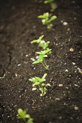 农作物,农场,垂直画幅,水,美,泥土,夏天,户外,花蕾,田地