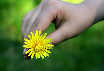 蒲公英,自然,图像聚焦技术,选择对焦,水平画幅,野生植物,仅一朵花,自然美,彩色图片,黄色