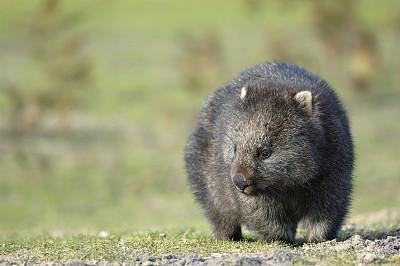 袋熊,选择对焦,正面视角,留白,水平画幅,无人,野外动物,户外,草