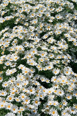 白色,田地,雏菊族,茼蒿菊,垂直画幅,美,枝繁叶茂,无人,夏天,户外