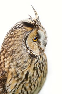 长耳枭,自然,垂直画幅,食肉鸟,智慧,无人,猫头鹰,动物,鸟类,翎毛