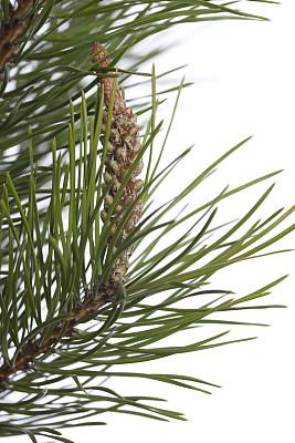松树,季节,自然,垂直画幅,美,春天,无人,枝,白色背景,花粉