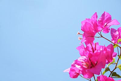 三角梅,天空,温带的花,留白,新的,水平画幅,无人,夏天,户外,明亮